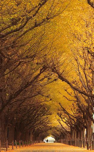 노랗게 단풍든 은행나무 숲길