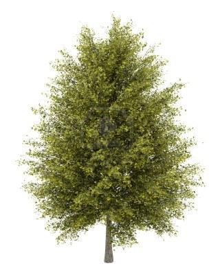 한그루의 은행나무