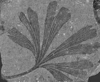 은행나무잎 화석