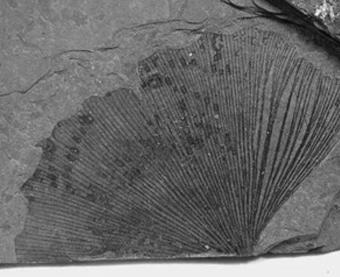 화석이된 은행나무잎새